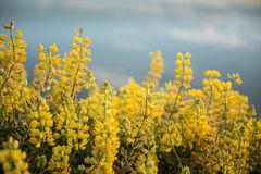 Yellow flowers at Waikawa habour. Sea in southern coast south island Newzealnd Royalty Free Stock Image