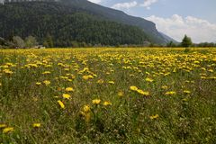 Yellow flowers Walking and Bicycle tour around lake Resia Reschen in south tyrol Italy. Mountains Alps Royalty Free Stock Photos