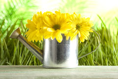 Yellow flowers in watering can Royalty Free Stock Image