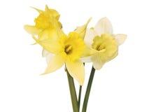 Yellow flowers on white. 2 Yellow flowers on white background Stock Image