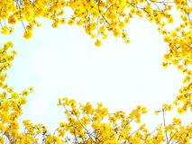 Yellow flowers on white background for framing. Yellow flowers on white background for framing in Asia stock photo