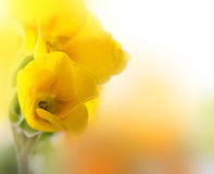 Yellow flowers on a white background, a spring Stock Images