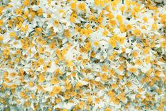 Yellow flowers with white leaves. background image with yellow and white colored flowers.  royalty free stock photography