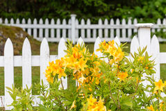 Yellow Flowers on White Picket Fence Stock Photo