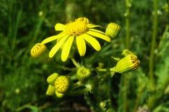 Yellow flowers. Wild yellow flowers stock photo