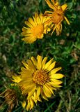 Yellow flowers. The wild yellow flowers Stock Photography