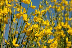 These are yellow flowers of wild genista. Background. These are yellow flowers of wild genista royalty free stock image