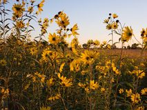 Yellow flowers. Wild native yellow flowers in a prairie filled Royalty Free Stock Photo