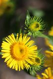 Yellow flowers. Wild yellow flowers photographed on the sandy ground Stock Photos