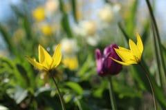 Wild tulips in flowerbed stock photo
