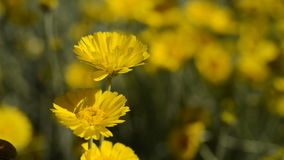 Yellow Flowers in The Wind stock footage
