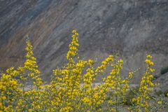 Yellow flowers. With rock background Stock Photography