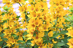 Yellow flowerses Royalty Free Stock Photos