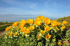 Yellow Flowery Succulents Stock Photo