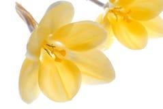 Yellow flowrs Royalty Free Stock Image