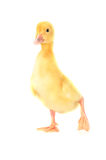 Yellow fluffy duckling Royalty Free Stock Image