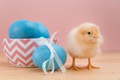 Yellow fluffy Easter chick looks at camera with blue speckled eg Royalty Free Stock Photography