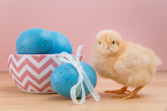 Yellow fluffy Easter chick on pink with blue speckled eggs Royalty Free Stock Images