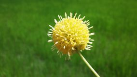 A yellow fluffy flower. Blossom in a field Stock Photos