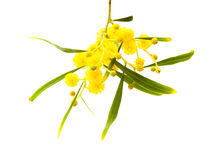 Yellow fluffy flowers on acacia Royalty Free Stock Photos