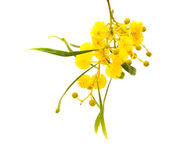 Yellow fluffy flowers on acacia stock photography