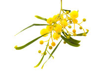 Yellow fluffy flowers on acacia Stock Photo