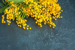 Yellow fluffy mimosa flower bouquet Royalty Free Stock Photography
