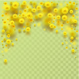 Yellow fluffy mimosa flowers fall Stock Photography
