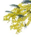 Yellow fluffy mimosa Stock Photo