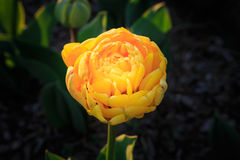 Yellow Fluffy Tulip About to Bloom Stock Images