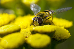 Yellow fly Royalty Free Stock Images