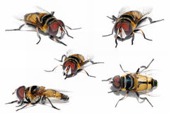 Yellow Fly Stock Images