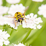 Yellow fly on grass Royalty Free Stock Photo