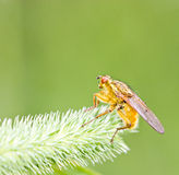 Yellow fly on grass Stock Photo