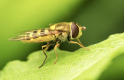 Yellow fly on green leaf. Similar to wasp yellow fly sits on a green leaf. Close-up Stock Images