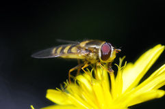 Yellow fly Royalty Free Stock Image