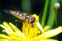 Yellow fly Royalty Free Stock Photo