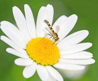 Yellow fly macro Royalty Free Stock Photos