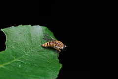 Yellow Fly Over Green Leaf. Little Yellow Fly Over Green Leaf Macro Royalty Free Stock Image