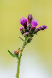 Yellow fly sitting on a flower thistle Stock Image