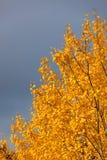 Yellow foliage aspen tree Stock Image