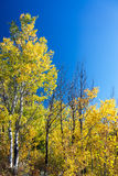 Yellow Foliage and Blue Sky Royalty Free Stock Photos