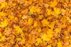 Yellow foliage Royalty Free Stock Photo
