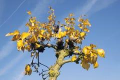 Yellow foliage on fruit tree in dutch autumn Royalty Free Stock Photo