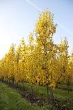 Yellow foliage on fruit trees in dutch autumn Stock Photos