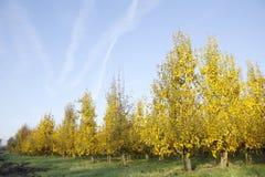 Yellow foliage on fruit trees in dutch autumn Royalty Free Stock Image