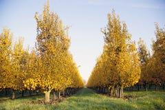 Yellow foliage on fruit trees in dutch autumn Stock Photo