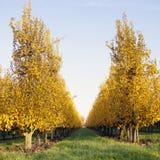 Yellow foliage on fruit trees in dutch autumn Stock Photography