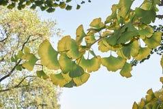 Ginkgo biloba leaves turning to yellow in autumn. Yellow foliage of Ginkgo biloba tree stock images