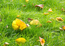 Yellow foliage grass autumn Stock Image